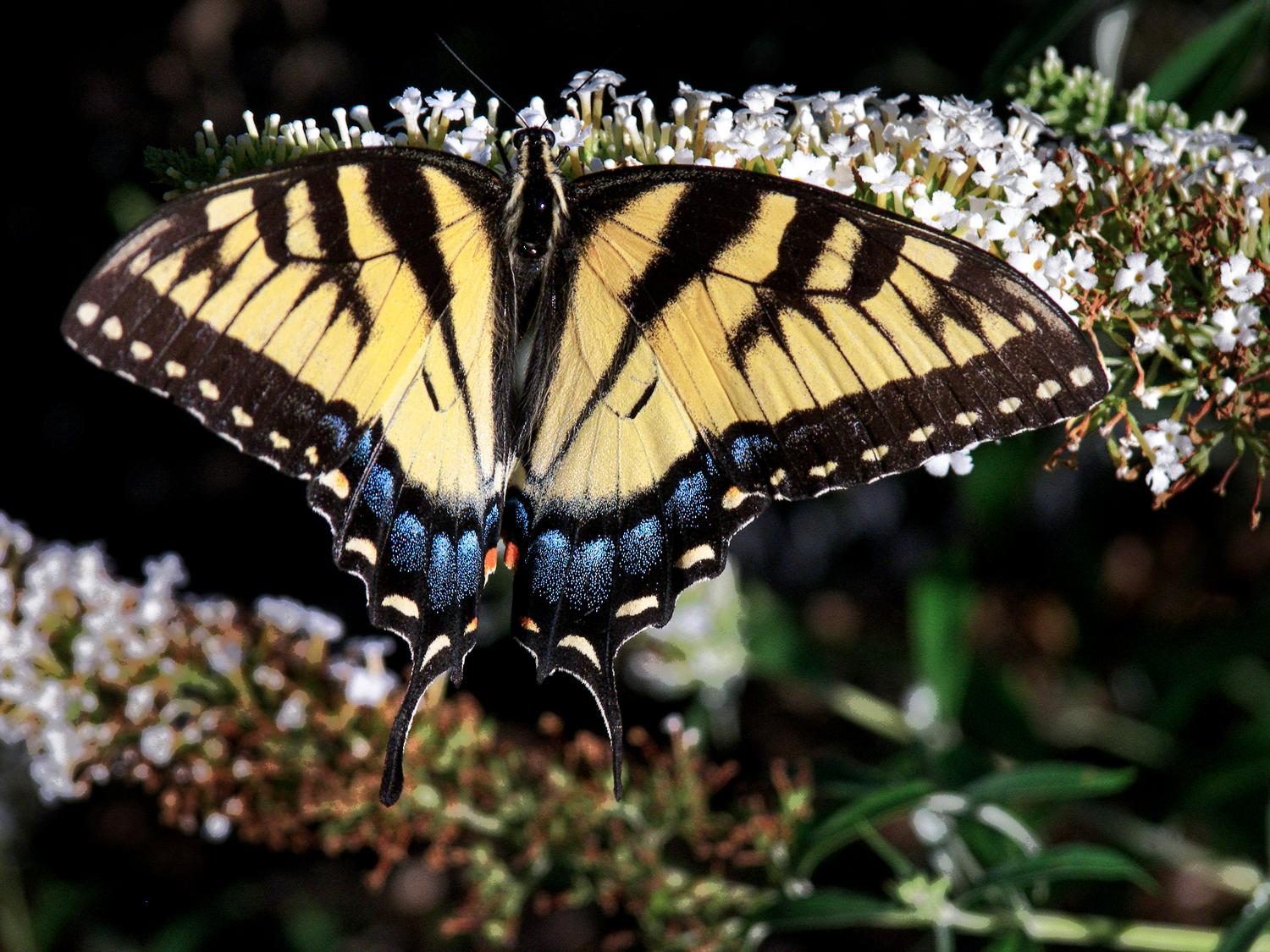 Swallowtail butterfly - Tiger swallowtail butterfly - Kodak Easyshare P880 - Tony Karp, design, art, photography, techno-impressionist, techno-impressionism, aerial photography , drone , drones , dji , mavic pro , video , 3D printing - Books -