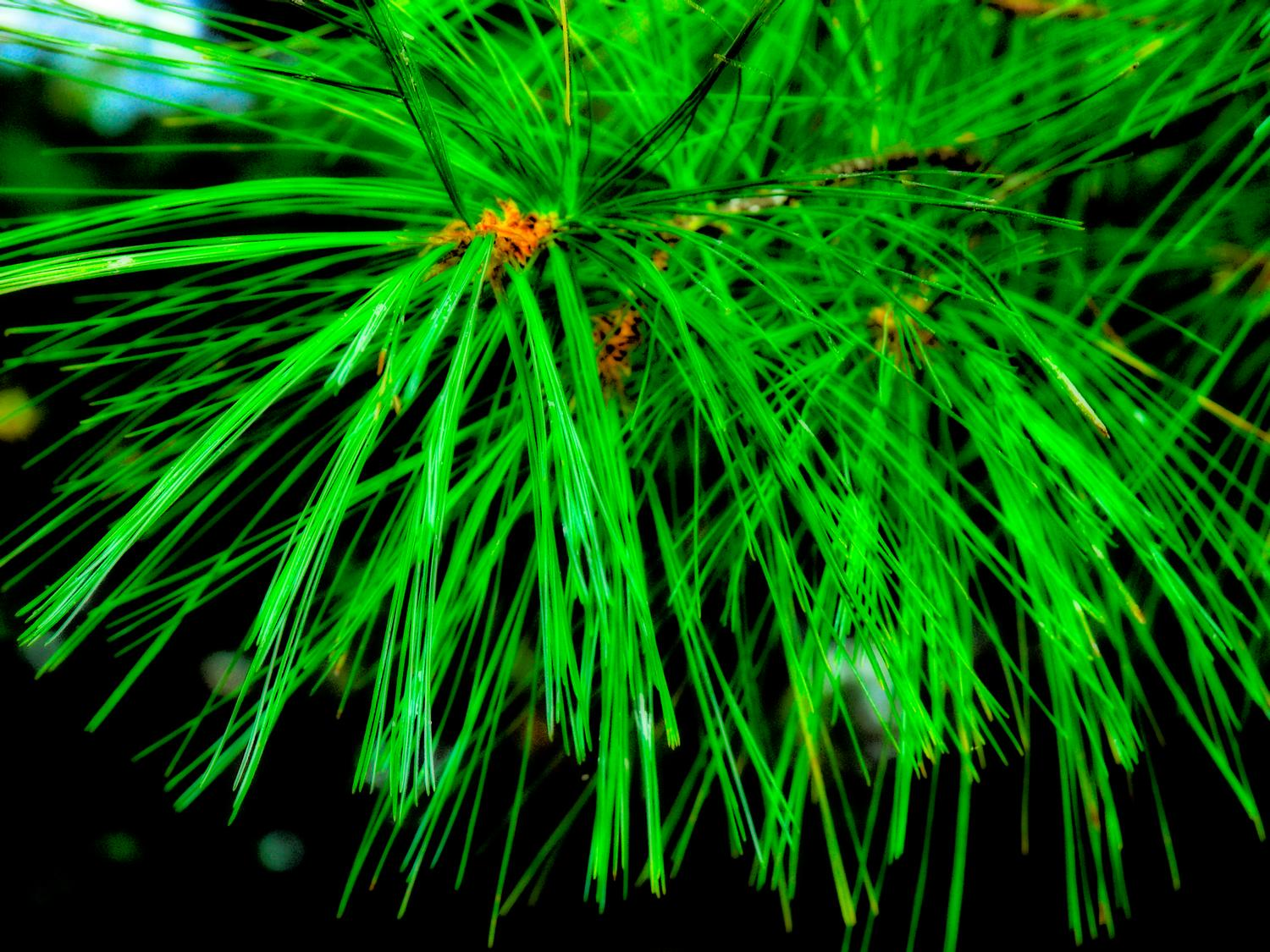 - Pine needles - Kodak Easyshare P880 - Tony Karp, design, art, photography, techno-impressionist, techno-impressionism, aerial photography , drone , drones , dji , mavic pro , video , 3D printing - Books -