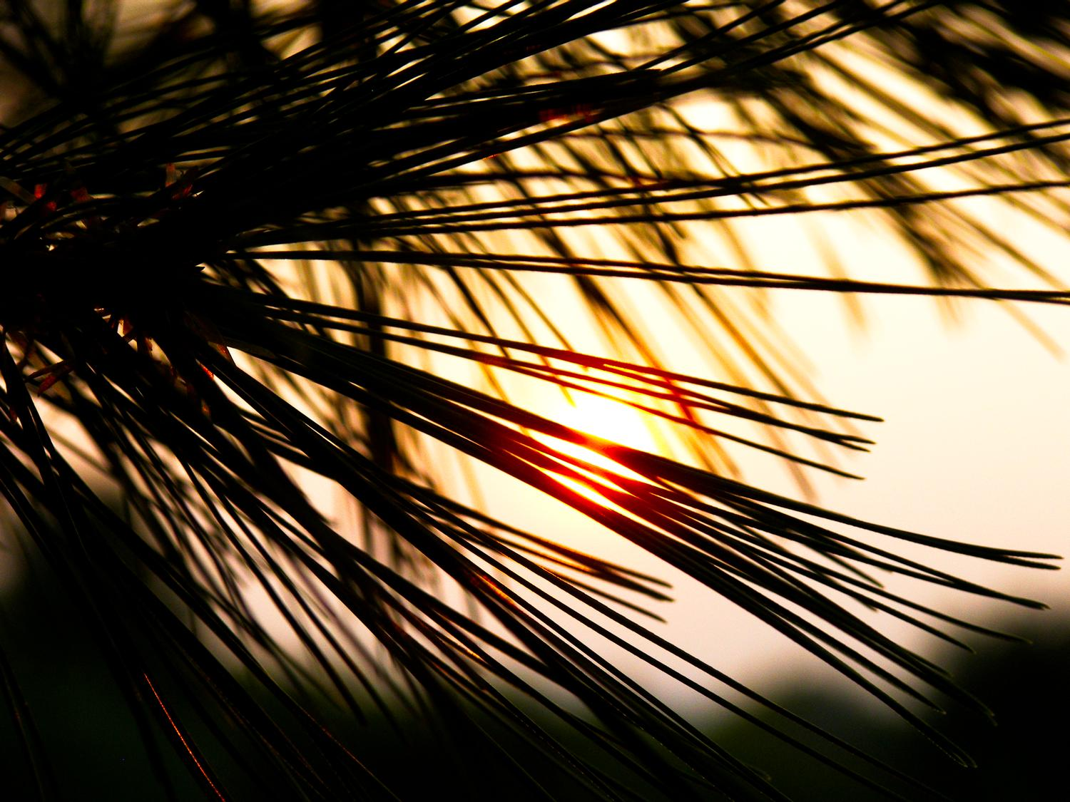 Sunset with pine needles - - Sunset with pine needles - Kodak P880 - Tony Karp, design, art, photography, techno-impressionist, techno-impressionism, aerial photography , drone , drones , dji , mavic pro , video , 3D printing - Books -
