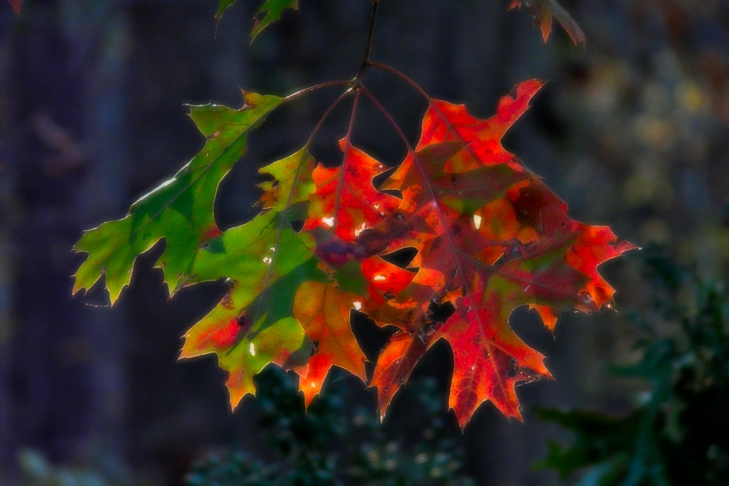 Autumn leaves - red against green - Some autumn color - Panasonic DMC-FZ18 - Tony Karp, design, art, photography, techno-impressionist, techno-impressionism, aerial photography , drone , drones , dji , mavic pro , video , 3D printing - Books -