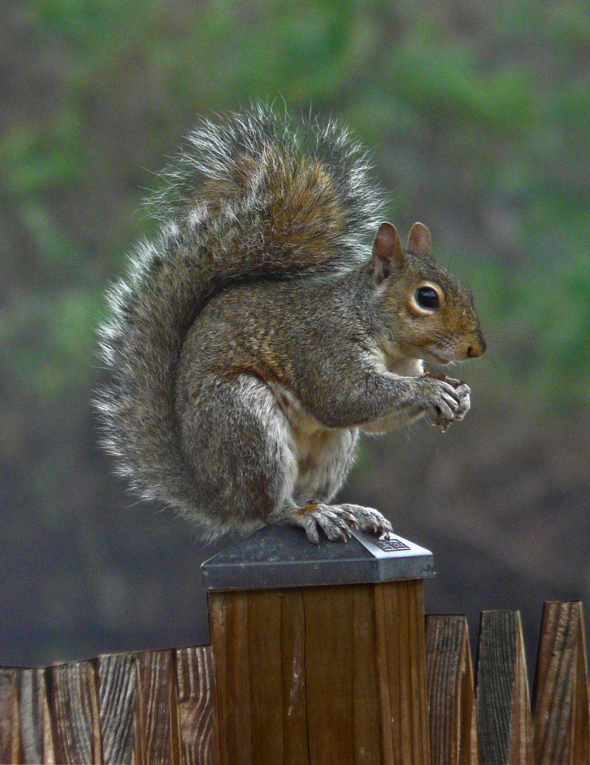 - Mr. Squirrel, post-processed in LightZone 3 - Panasonic DMC-FZ18 - Tony Karp, design, art, photography, techno-impressionist, techno-impressionism, aerial photography , drone , drones , dji , mavic pro , video , 3D printing - Books -
