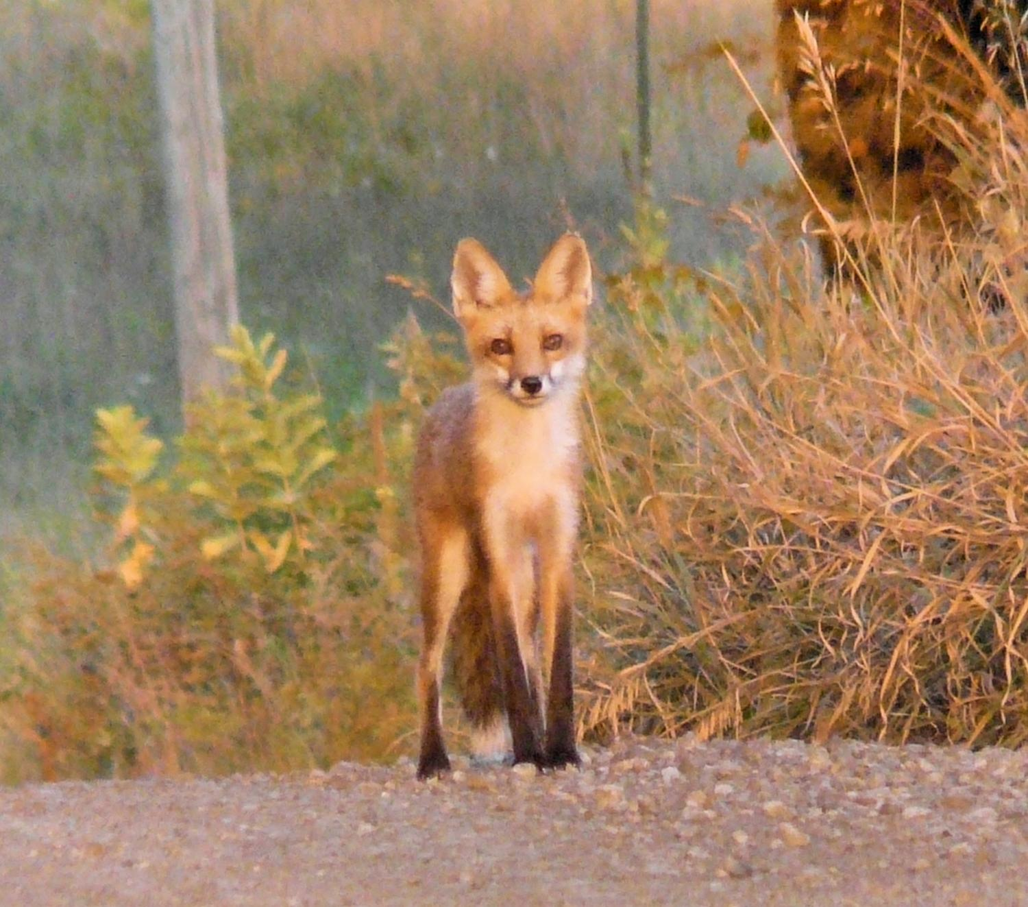 A fox in the road - by Marilyn Karp - A fox in the road -- taken by the Artist's Muse - Panasonic DMC-FZ18 - Tony Karp, design, art, photography, techno-impressionist, techno-impressionism, aerial photography , drone , drones , dji , mavic pro , video , 3D printing - Books -