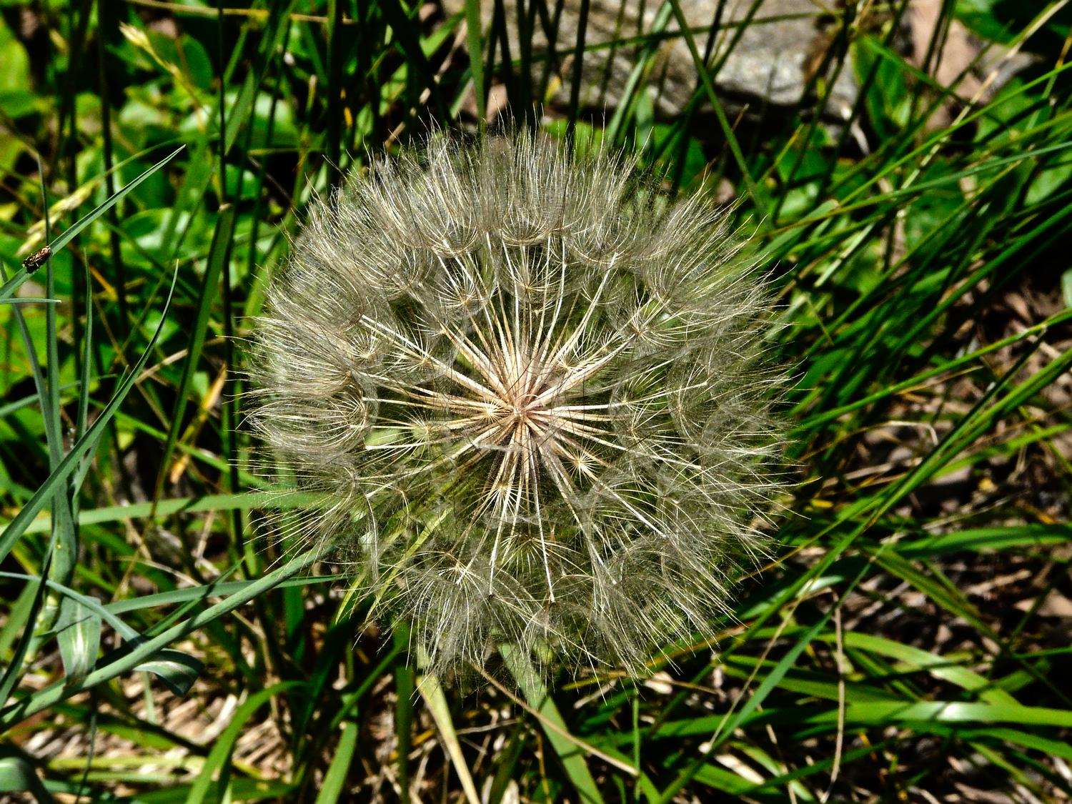- We thought this was a giant, mutant dandelion puffball, but it's actually salsify, sometimes called  goatsbeard. - Panasonic DMC-FZ18 - Tony Karp, design, art, photography, techno-impressionist, techno-impressionism, aerial photography , drone , drones , dji , mavic pro , video , 3D printing - Books -