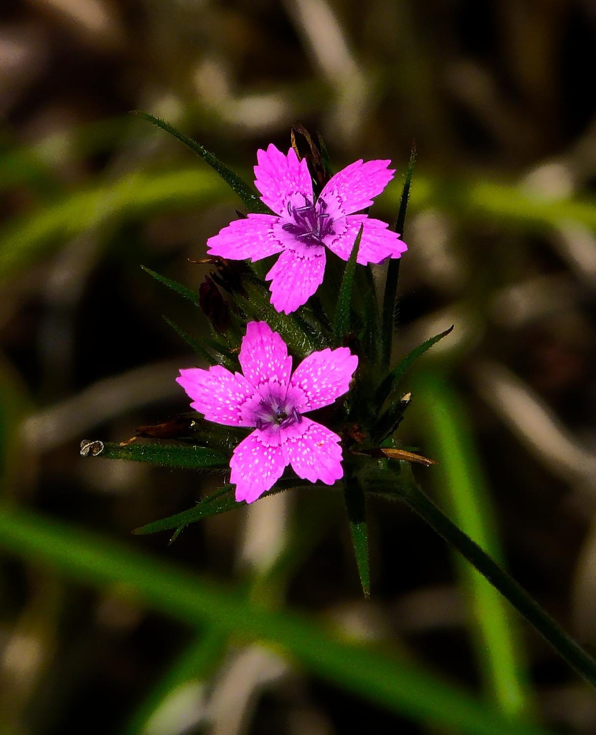 - Two little, pink flowers - Panasonic DMC-FZ18 - Tony Karp, design, art, photography, techno-impressionist, techno-impressionism, aerial photography , drone , drones , dji , mavic pro , video , 3D printing - Books -