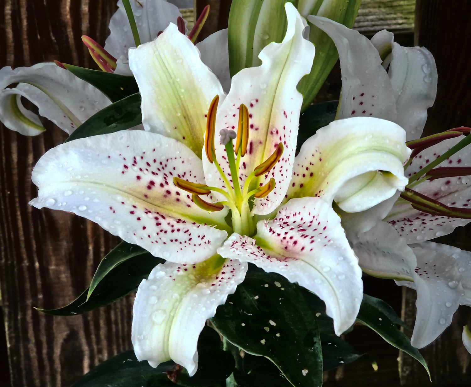 stargazer lilies - This one is pretty, but not as pretty as you. - - art  - photography - by Tony Karp
