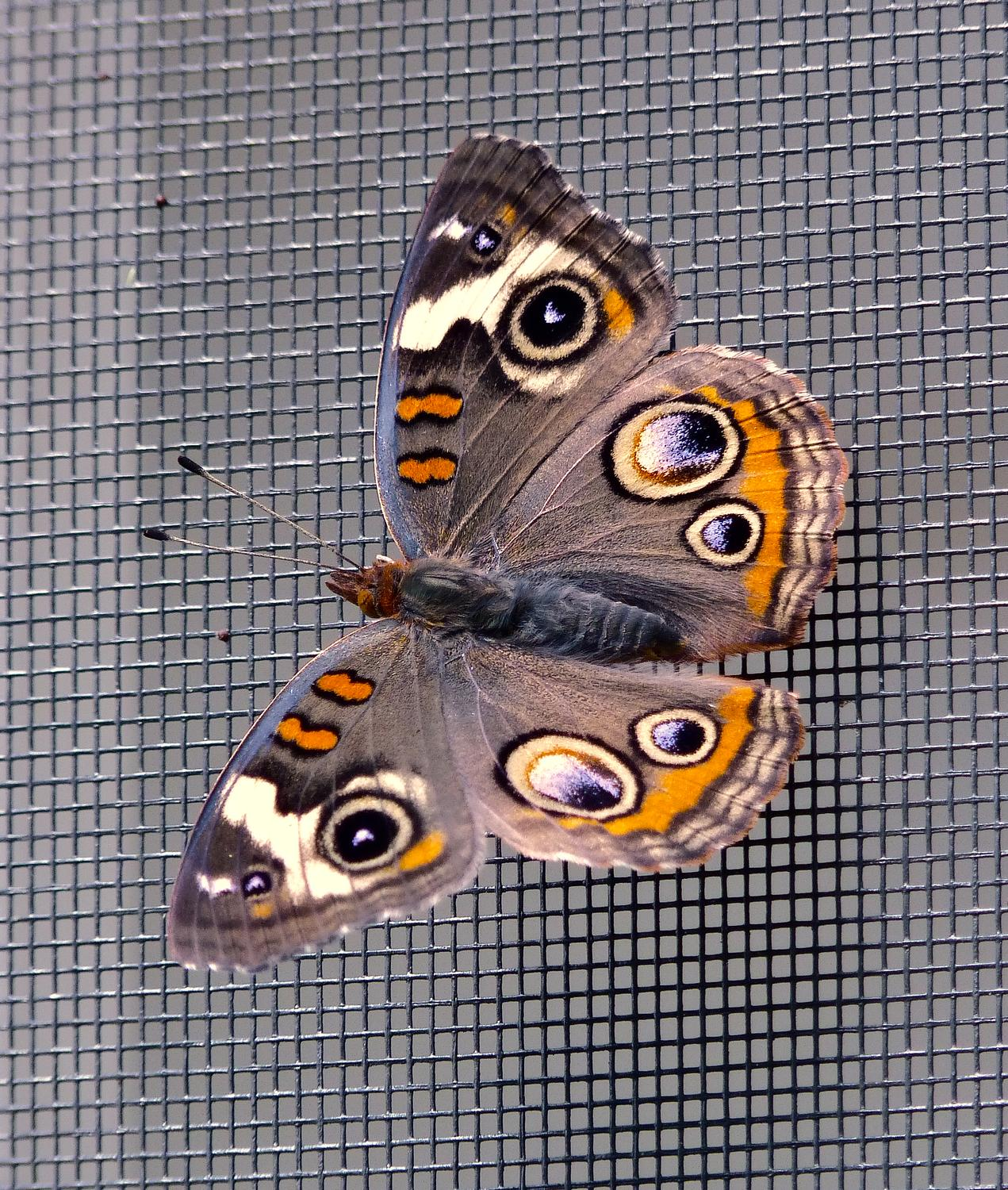 - And here's Bucky, ready for his close-up. My what big eyes you have. - Common Buckeye butterfly - Panasonic DMC-FZ35- - Tony Karp, design, art, photography, techno-impressionist, techno-impressionism, aerial photography , drone , drones , dji , mavic pro , video , 3D printing - Books -