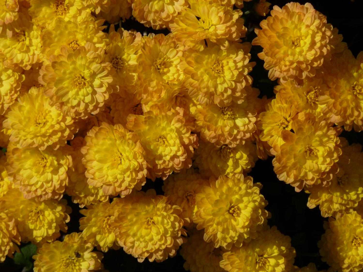 - The yellow flowers of autumn <br>--- Click to see ORIGINAL --- - Panasonic DMC-ZS20 - - art  - photography - by Tony Karp
