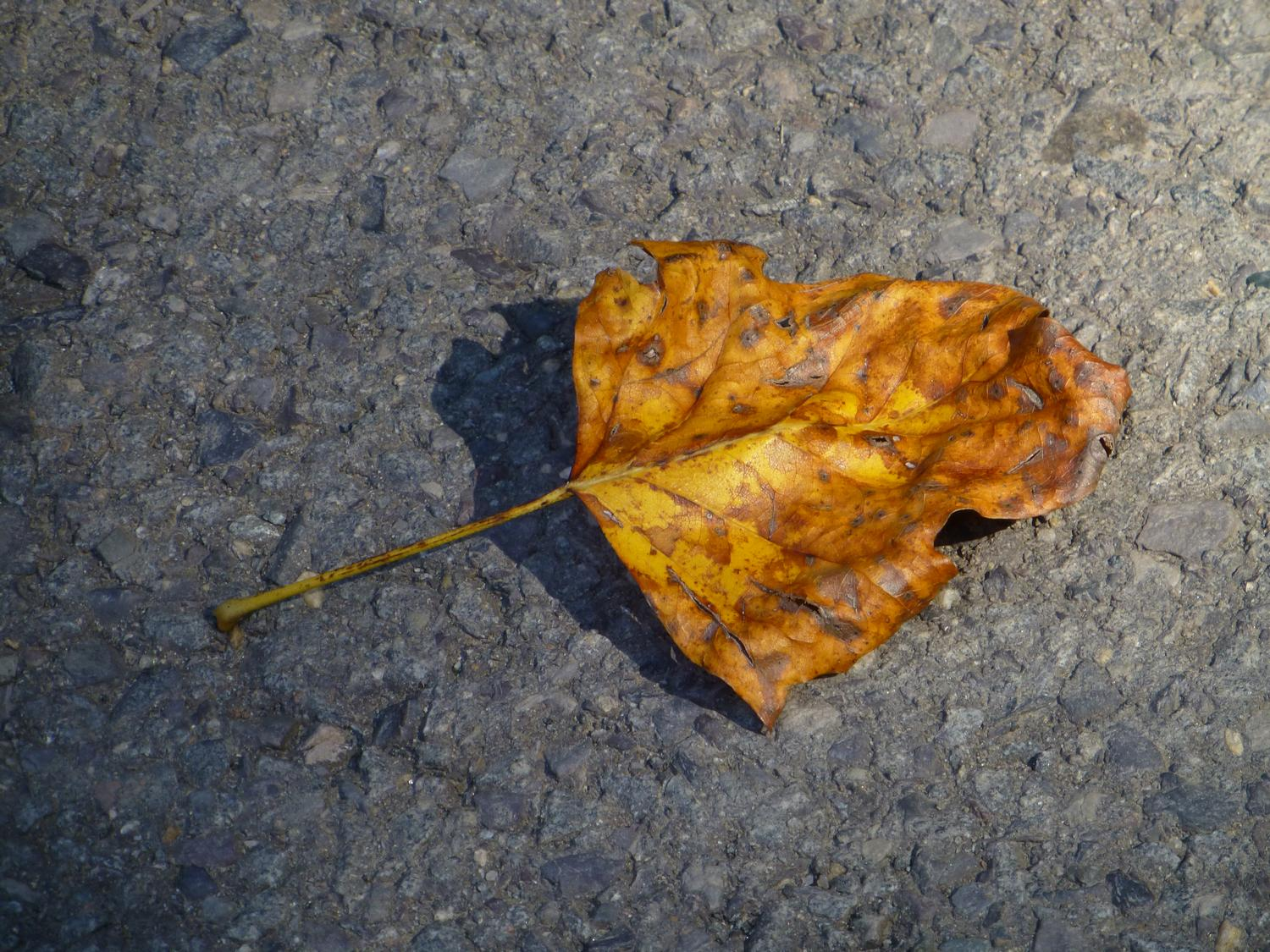 - A leaf on asphalt <br>--- Click to see ORIGINAL --- - Panasonic DMC-ZS20 - - art  - photography - by Tony Karp