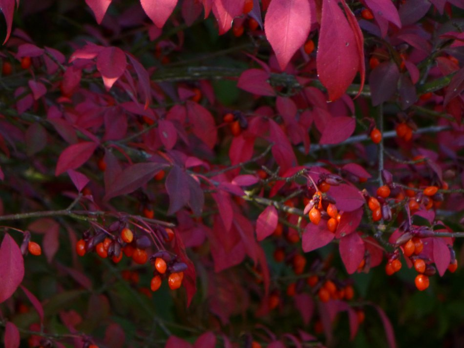 - Red leaves and berries <br>--- Click to see ORIGINAL --- - Panasonic DMC-ZS20 - Tony Karp, design, art, photography, techno-impressionist, techno-impressionism, aerial photography , drone , drones , dji , mavic pro , video , 3D printing - Books -